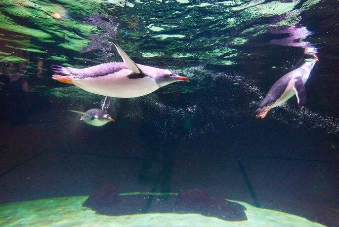 Penguins seen swimming underwater.