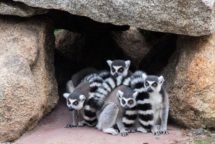 Ring-tailed lemurs at Melbourne Zoo.